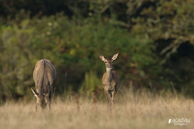 Biche et faon- mammifère en Sologne ©Alexandre Roubalay - Acadiau d'images