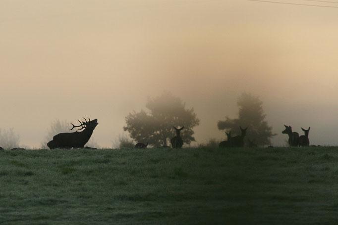 Brame du cerf - photo nature en Sologne ©Alexandre Roubalay - Acadiau d'images