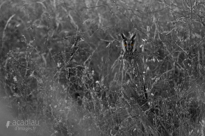 Hibou moyen duc©Alexandre Roubalay