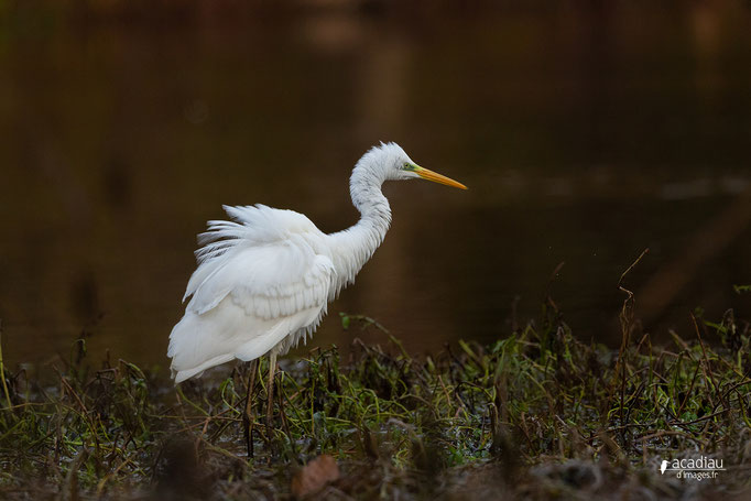 Grande aigrette en Sologne - photo nature  ©Alexandre Roubalay - Acadiau d'Images