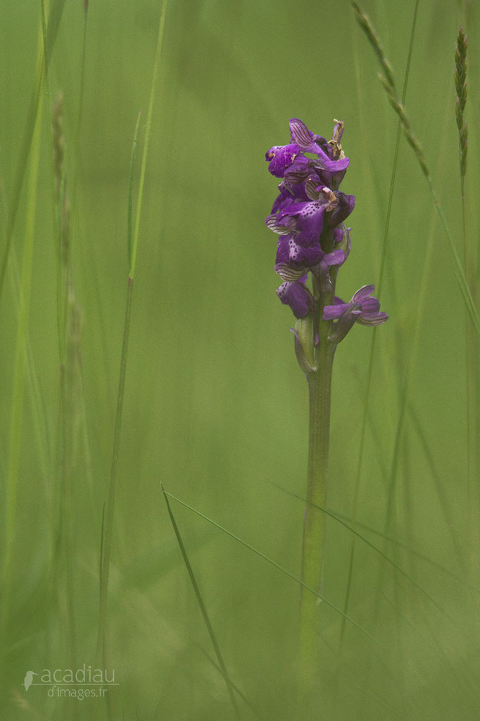 Orchidée - flore et photo nature en Sologne ©Alexandre Roubalay - Acadiau d'images