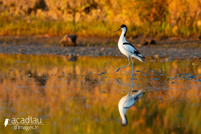 Avocette - photo nature  ©Alexandre Roubalay - Acadiau d'Images