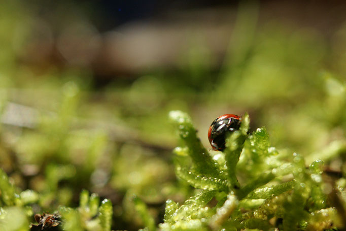 Coccinelle - photo nature en Sologne ©Alexandre Roubalay - Acadiau d'images