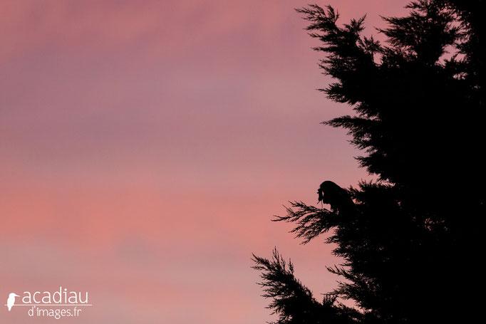 Hibou-moyen-duc en Sologne - photo nature  ©Alexandre Roubalay - Acadiau d'Images