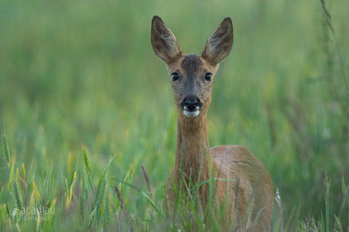 Chevreuil - mammifère en Sologne ©Alexandre Roubalay - Acadiau d'images