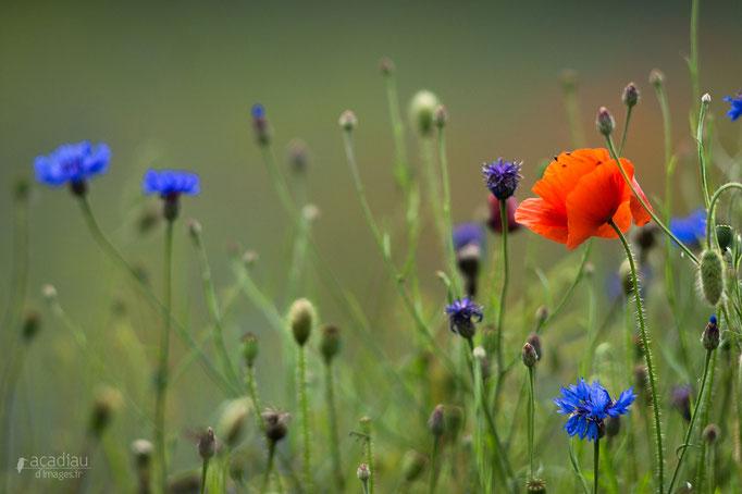 Coquelicot et bleuets- flore et photo nature en Sologne ©Alexandre Roubalay - Acadiau d'images