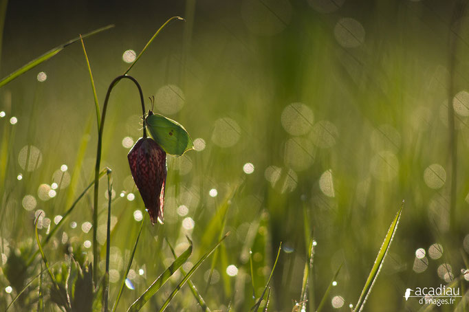 fritillaire en Sologne ©Alexandre Roubalay - Acadiau d'images