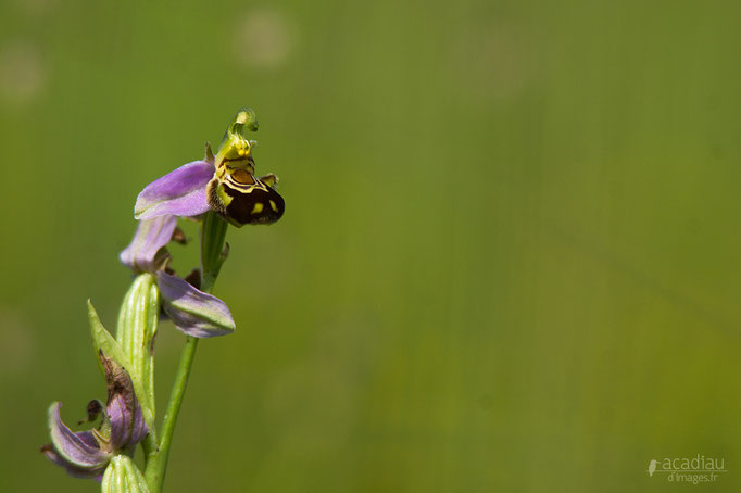Ophrys en Sologne©Alexandre Roubalay - Acadiau d'images