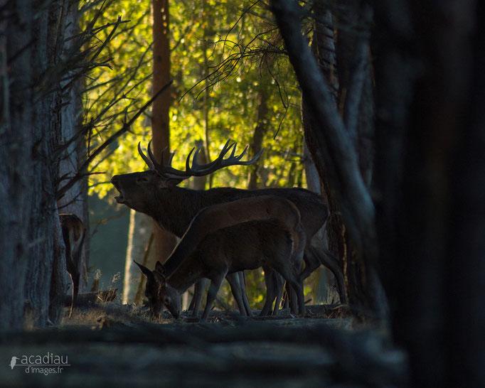 Cerf au brame - photo nature en Sologne ©Alexandre Roubalay - Acadiau d'images