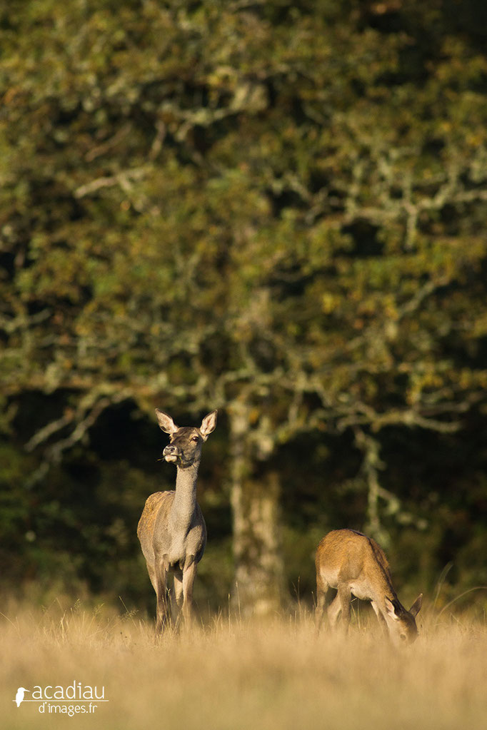 Biche et faon - photo nature en Sologne ©Alexandre Roubalay - Acadiau d'images