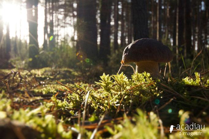 Cèpe photo nature en Sologne ©Alexandre Roubalay - Acadiau d'images
