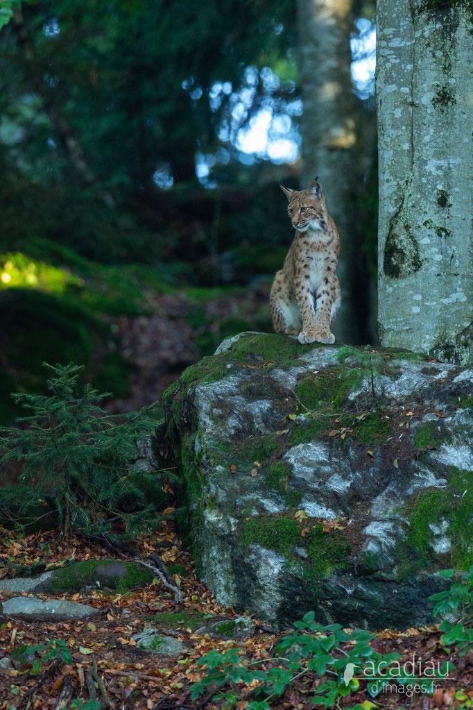 Lynx - Bayerischerwald ©Alexandre Roubalay - Acadiau d'images