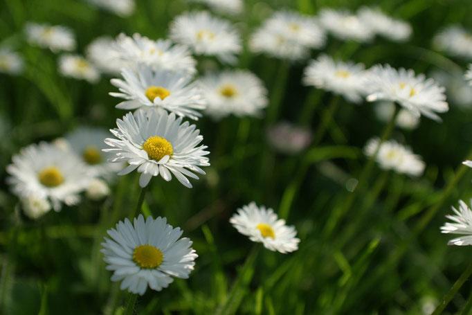 Pâquerette - flore et photo nature en Sologne ©Alexandre Roubalay - Acadiau d'images