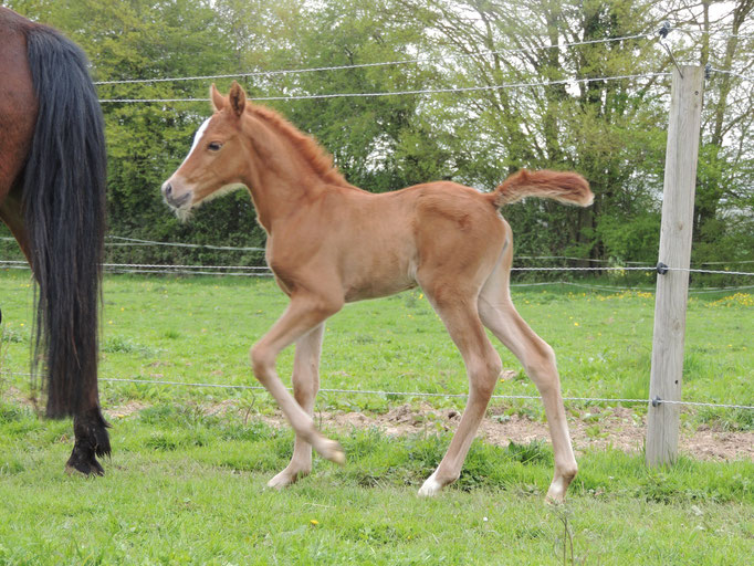 Gasolina  Dance, femelle New-Forest par Balentino de Treille et Quelly Pearl (par Willoway Piper's Bay), à 3 jours.