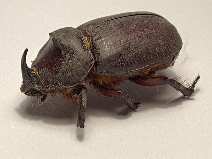 Nashornkäfer (Oryctes nasicornis), leider tot,  RoteListe: 8 nicht gefährdet, Bild Nr.695, Bild v. Nick E. (19.7.2020), Fundort: Kirche