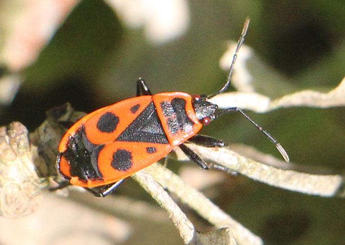 Feuerwanze (Pyrrhocoridae), Rote Liste Status: 10 noch nicht bestimmt, Bild Nr.446, Aufnahme von Nikolaus Eberhardt (10.9.2017)