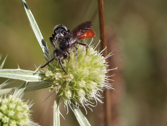 Blutbiene (Sphecodes albilabris), Rote Liste Status: 8 nicht gefährdet, Bild Nr.142, Aufnahme von Nikolaus Eberhardt (26.7.2015), Fundort: Orchideenwiese