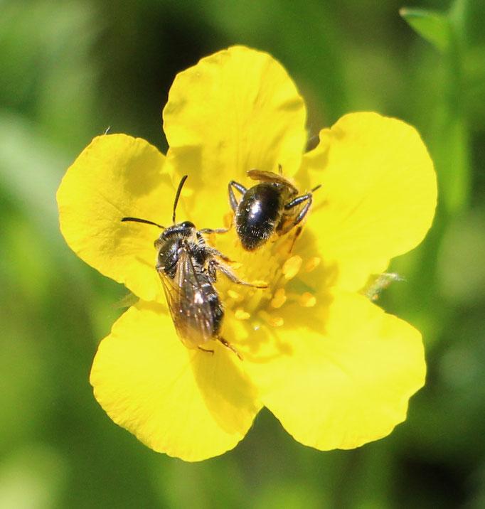 Lasioglossum (Lasioglossum), genaue Bestimmung fehlt,  Rote Liste Status: 10 noch nicht bestimmt, Bild Nr.585, Aufnahme von N.E. (21.5.2018)