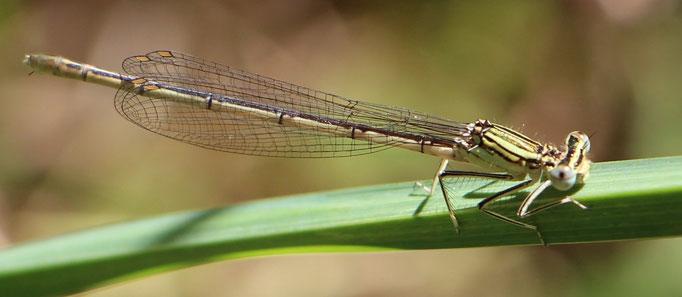 Blaue_Federlibelle (Platycnemis pennipes), w,  Rote Liste Status: 8 nicht gefährdet, Bild Nr.117, Aufnahme von N.E. (26.7.2015)