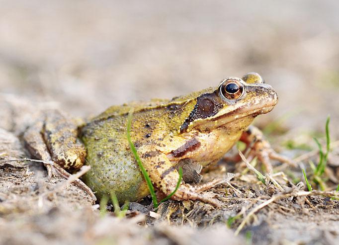 Grasfrosch (Rana temporaria), Rote Liste Status: 6 Arten der Vorwarnliste, Bild Nr.42, Aufnahme von Andreas Bräuning