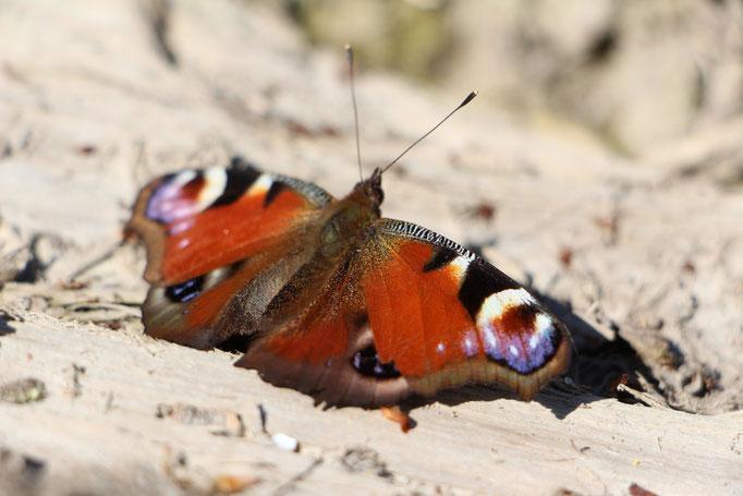 Tagpfauenauge (Aglais io), Rote Liste Status: 10 noch nicht bestimmt, Bild Nr.10, Aufnahme von Nikolaus Eberhardt (19.4.2015), Fundort: Kleine Lache