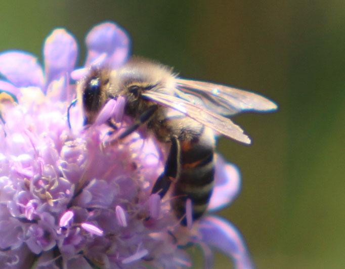 Honigbiene (Apis), Rote Liste Status: 10 noch nicht bestimmt, Bild Nr.569, Aufnahme von N.E. (17.7.2016)