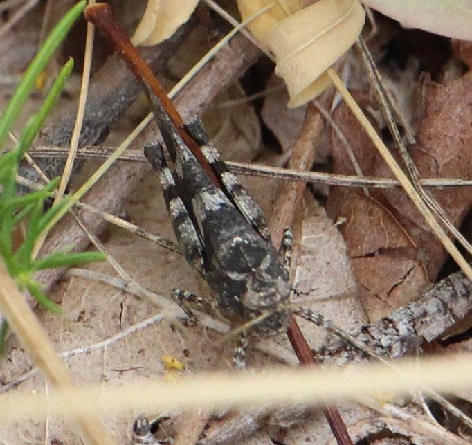 Blauflügelige_Ödlandschrecke (Oedipoda caerulescens), Farbvariante,  Rote Liste Status: 3 gefährdet, Bild Nr.637, Aufnahme von Nick E. (6.7.2019)