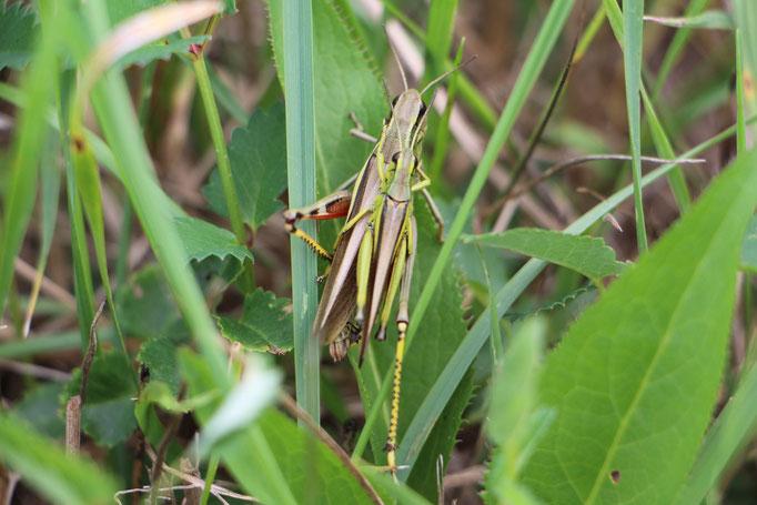 Sumpfschrecke (Stethophyma grossum), m/w,  Rote Liste Status: 2 stark gefährdet, Bild Nr.140, Aufnahme von Nikolaus Eberhardt (9.8.2015)
