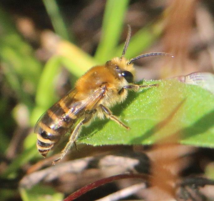 Seidenbiene (Colletes), Rote Liste Status: 10 noch nicht bestimmt, Bild Nr.451, Aufnahme von Nikolaus Eberhardt (10.9.2017)