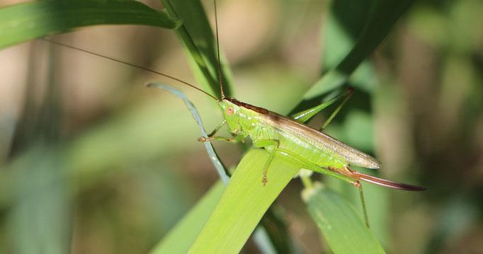 Zweifarbige Beißschrecke (Metrioptera bicolor), Rote Liste Status: 6 Arten der Vorwarnliste, Bild Nr.198, Aufnahme von Nikolaus Eberhardt (26.7.2015)