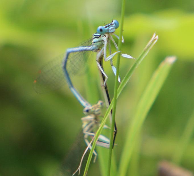 Blaue_Federlibelle (Platycnemis pennipes), m/w,  Rote Liste Status: 8 nicht gefährdet, Bild Nr.297, Aufnahme von Nikolaus Eberhardt (17.8.2016)