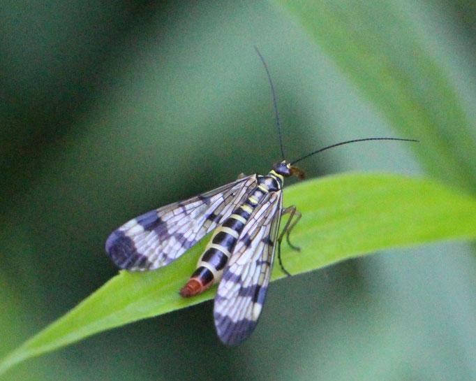 Skorpionsfliege (Panorpa communis), Rote Liste Status: 10 noch nicht bestimmt, Bild Nr.421, Aufnahme von N.E. (28.5.2017)