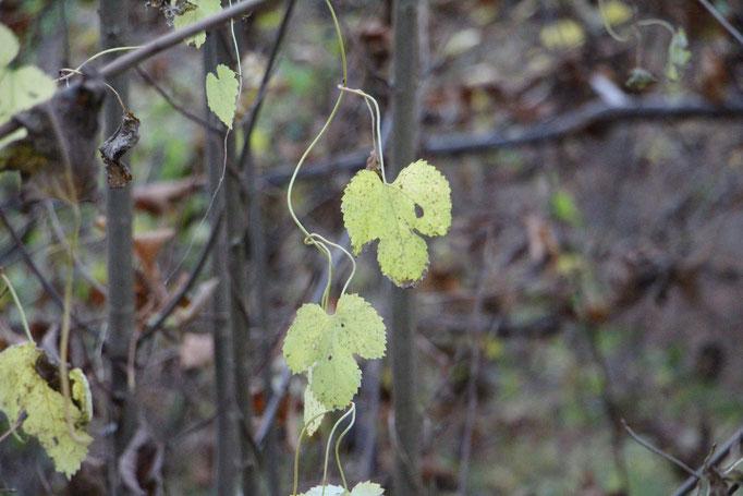 Hopfen (Humulus lupulus), wilder-,  Rote Liste Status: 8 nicht gefährdet, Bild Nr.212, Aufnahme von Nikolaus Eberhardt (8.11.2015)