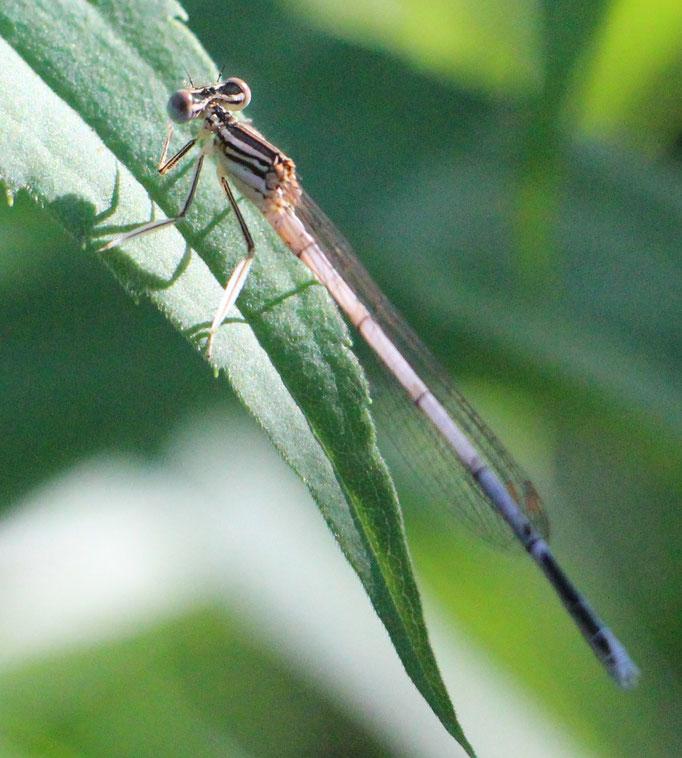 Weiße_Federlibelle (Platycnemis latipes), Rote Liste Status: 10 noch nicht bestimmt, Bild Nr.580, Aufnahme von N.E. (3.6.2018)