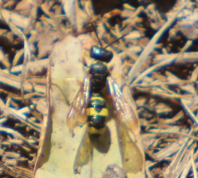 Bienenjagende_Knotenwespe (Cerceris rybyensis), Rote Liste Status: 8 nicht gefährdet, Bild Nr.608, Aufnahme von N.E. (26.8.2018)