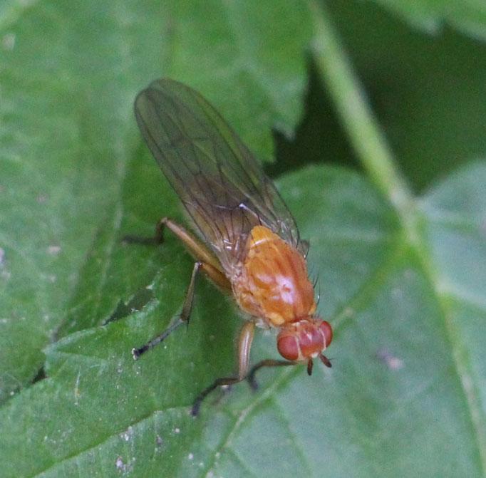 Kirschfruchtfliege (Drosophila suzukii), w,  RoteListe: 10 noch nicht bestimmt, Bild Nr.681, Bild v. Nick E. (17.5.2020)