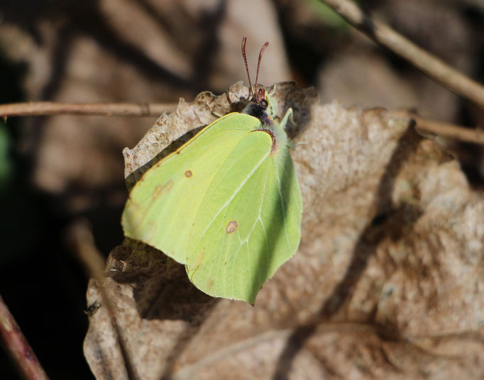 Zitronenfalter (Gonepteryx rhamni), Rote Liste Status: 8 nicht gefährdet, Bild Nr.50, Aufnahme von Nikolaus Eberhardt (3.4.2015)
