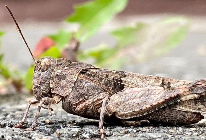 Blauflügelige_Ödlandschrecke (Oedipoda caerulescens), Bild nicht auf Insel, Art aber nachgewiesen,  RoteListe: 3 gefährdet, Bild Nr.714, Bild v. Nick E. (6.9.2020)