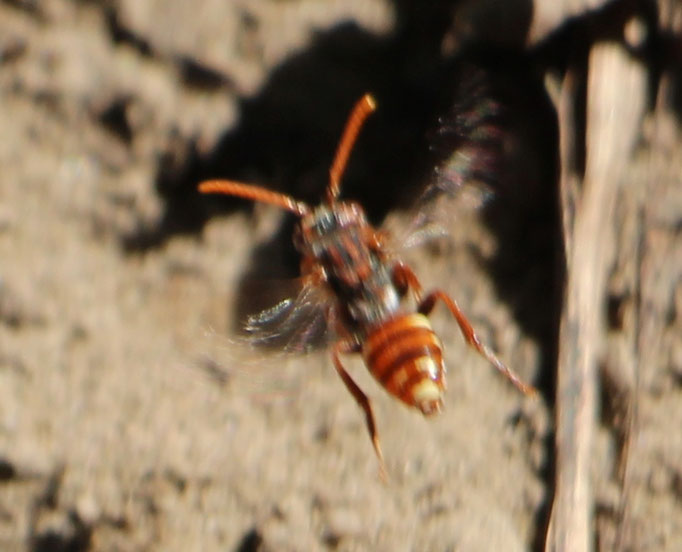 Nomada flavoguttata (Nomada flavoguttata),im Flug,  gehört zu den Wespenbienen,  Rote Liste Status: 8 nicht gefährdet, Bild Nr.528, Aufnahme von Nikolaus Eberhardt (5.5.2018)