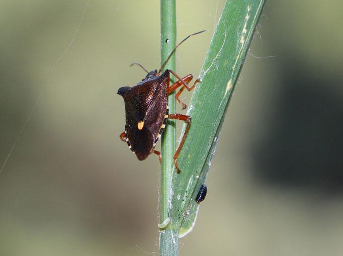 Rotbeinige Baumwanze (Pentatoma rufipes), Rote Liste Status: 10 noch nicht bestimmt, Bild Nr.99, Aufnahme von Nikolaus Eberhardt (5.7.2015)