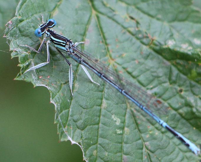 Blaue_Federlibelle (Platycnemis pennipes), m,  Rote Liste Status: 8 nicht gefährdet, Bild Nr.101, Aufnahme von N.E. (13.9.2015)