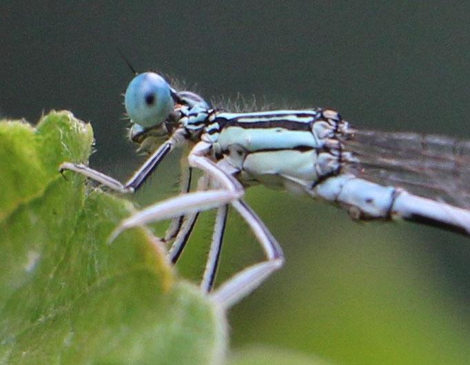 Blaue_Federlibelle (Platycnemis pennipes), Rote Liste Status: 8 nicht gefährdet, Bild Nr.149, Aufnahme von Nikolaus Eberhardt (13.9.2015)