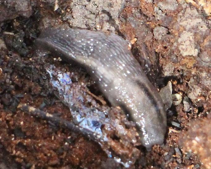 Schnegel (Limacidae), RoteListe: 10 noch nicht bestimmt, Bild Nr.727, Bild v. Nick E. (27.3.2021)