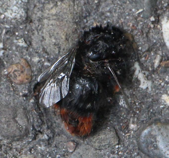 Steinhummel (Bombus lapidarius),leider tot,  Rote Liste Status: 8 nicht gefährdet, Bild Nr.415, Aufnahme von Nikolaus Eberhardt (23.7.2017)