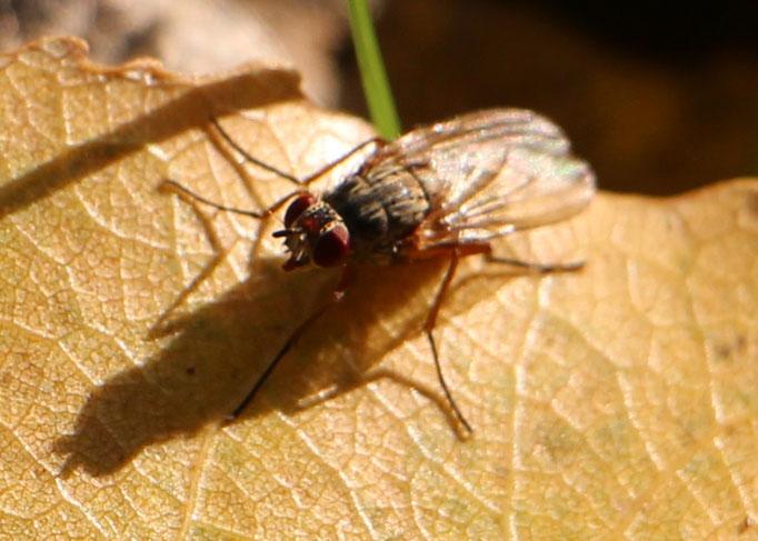 Echte Fliege (Muscidae), Rote Liste Status: 10 noch nicht bestimmt, Bild Nr.180, Aufnahme von N.E. (11.10.2015)