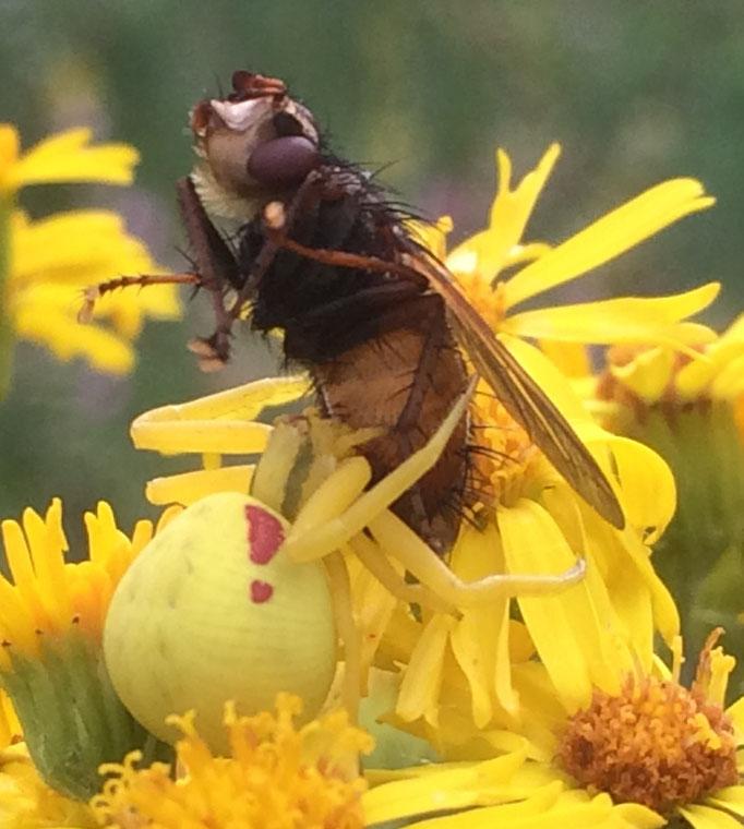 Veränderliche_Krabbenspinne (Misumena vatia),beim Verzehr einer Fliege,  Rote Liste Status: 8 nicht gefährdet, Bild Nr.641, Aufnahme von Nick E. (7.7.2019)