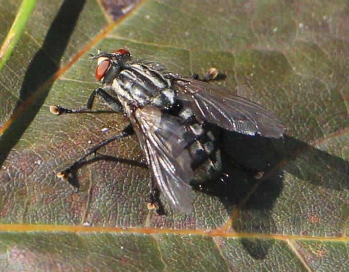 Fleischfliege (Sarcophagidae), Rote Liste Status: 10 noch nicht bestimmt, Bild Nr.433, Aufnahme von N.E. (3.9.2017)