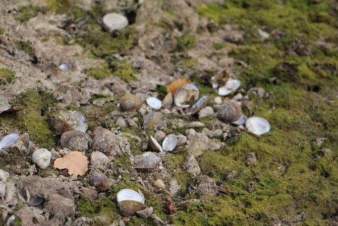 Körbchenmuschel (Corbiculidae),leider tot,  Rote Liste Status: 10 noch nicht bestimmt, Bild Nr.132, Aufnahme von Nikolaus Eberhardt (9.8.2015)