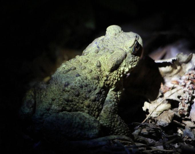 Erdkröte (Bufo bufo-Komplex), Rote Liste Status: 10 noch nicht bestimmt, Bild Nr.93, Aufnahme von Nikolaus Eberhardt (11.6.2015)