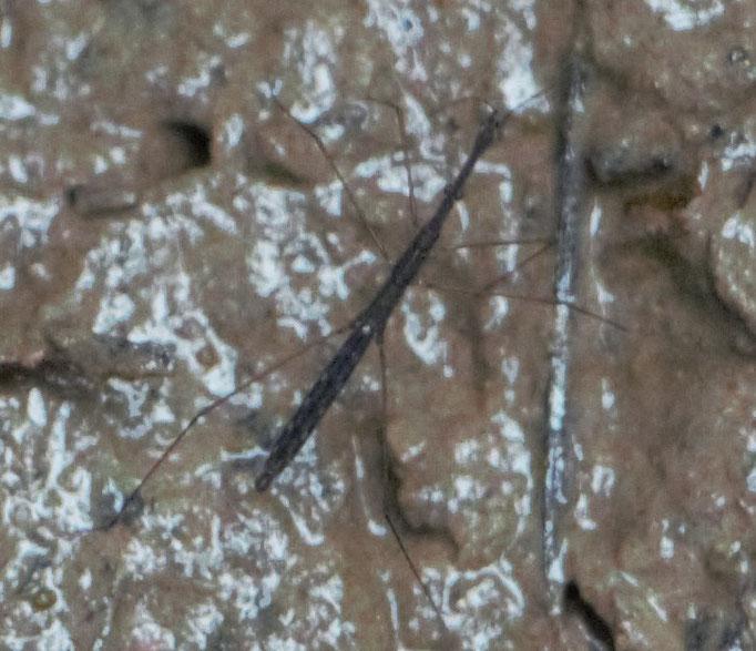Gemeiner Teichläufer (Hydrometra stagnorum), RoteListe: 10 noch nicht bestimmt, Bild Nr.692, Bild v. Nick E. (5.7.2020)